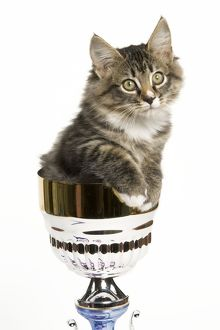 Norwegian Forest Cat - sitting in trophy cup
