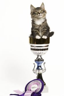 Norwegian Forest Cat - sitting in trophy cup with rosette