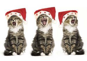 Norwegian Forest Cat - x3 wearing Christmas hats, singing.