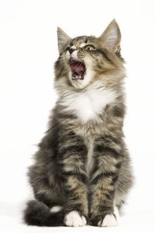 Norwegian Forest Cat - yawning