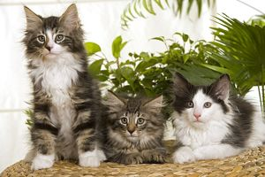 Three Norwegian Forest Cats sitting next to each other