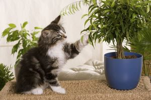Norwegian Forest Silver and White Mackerel Tabby Cat with pot plant