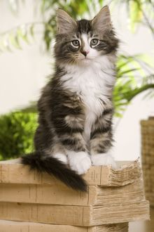 Norwegian Forest Silver and White Mackerel Tabby Cat sitting on a book
