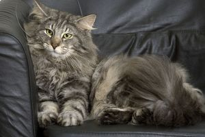 Norwegian Forest Silver and White Mackerel Tabby Cat sitting on the sofa