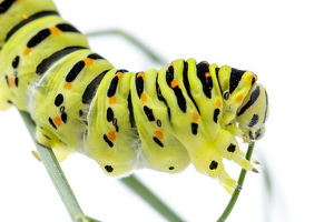 Old World Swallowtail - caterpillar on white background