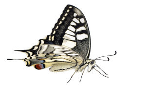 Old World Swallowtail - on white background - Galicia