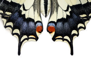 Old World Swallowtail - wings detail - Galicia, Spain