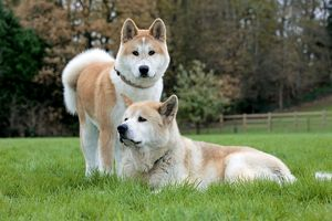 Old and young Akita Inu dogs