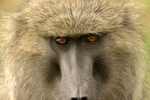 Olive Baboon - Close-up of face