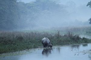 One-horned Rhinoceros - early in the morning -