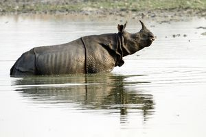 One-horned Rhinoceros - in the lake