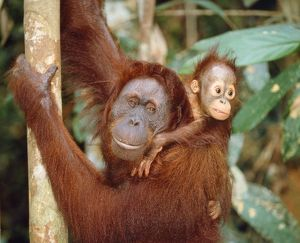 ORANG-UTAN - Adult with young on back