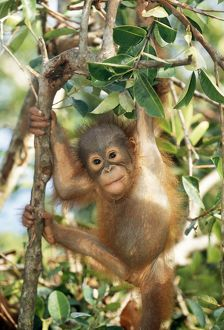 Orang-utan - baby, hanging off tree