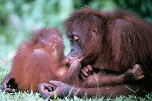 ORANG-UTAN - Mother kissing baby