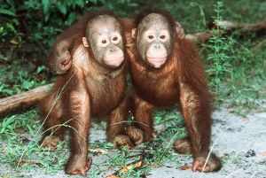 Orang-utan - x two youngsters cuddling