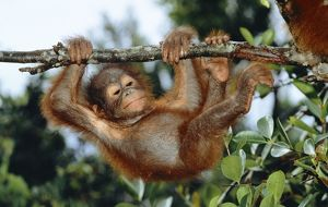 Orang-utan - young hanging from branch