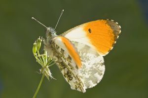 Orange Tip Butterfly - resting on Cow Parsley