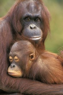 Orangutan - mother with baby