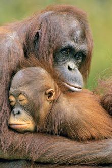Orangutan - mother with young.