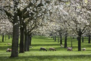 Orchard - in spring blossom - with Sheep feeding beneath