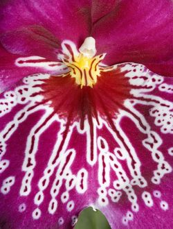 Orchid -'Miltoniopsis Rubis falls' - close-up of petal