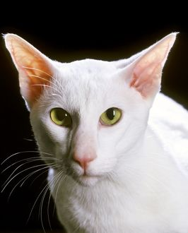<b>Oriental Shorthair</b><br>Selection of 183 items