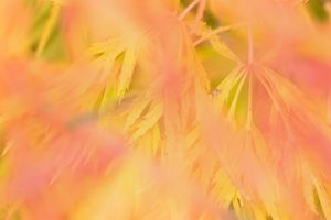 Ornamental maple - yellow and red coloured ornamental maple leaves in autumn