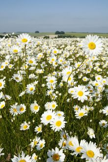 Ox-Eye Daisies - every one of this huge mass of