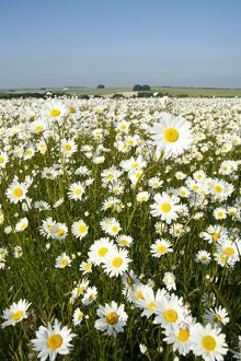 Ox-Eye Daisies - every one of this huge mass of flowers has turned to face the sun