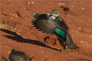 Pacific Black Duck - wing flapping - at Papunya