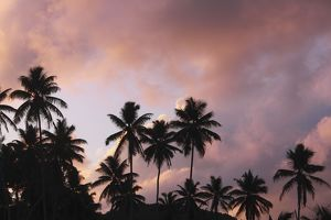 Palm Trees - at sunset