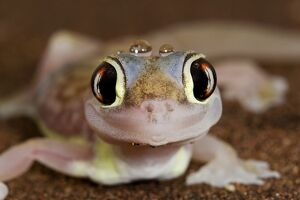 Palmato Gecko - close up of the head with water droplets
