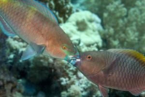 Parrot Fish - two fighting each other