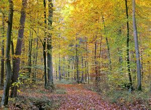 path in forest - path leading through beech forest with colourful autumn foliage
