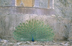 PEACOCK, Indian Peafowl