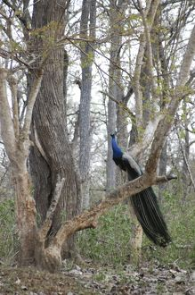 Peacock - Male in woods