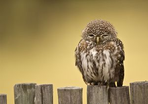 Pearl-spotted Owl - Sitting on fence