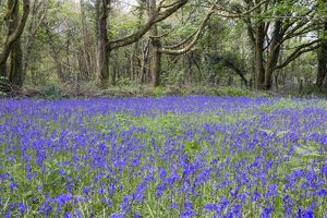 Pendarves Woods - Bluebells - Spring