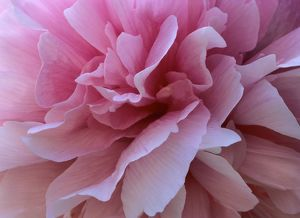 Peony - detail of a light pink blossom