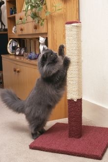 Persian CAT - using scratching post to sharpen claws