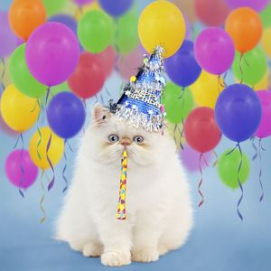 Persian Seal Point kitten wearing a Happy Birthday party Hat blowing a party popper