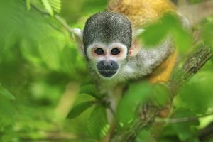 Peruvian Squirrel Monkey / Black-capped Squirrel