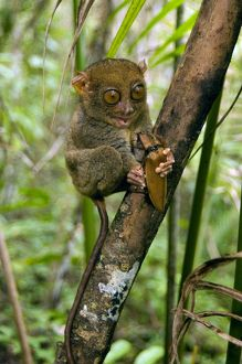 Philippine Tarsier, adult, about to eat a Giant Malaysian Click Beetle, one of its&#39