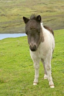 Piebald Shetland Pony - front view of cute foal