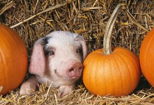 PIG - Gloucester Old Spot piglet with pumpkins
