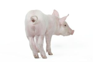 Pig - Piglet - rear view