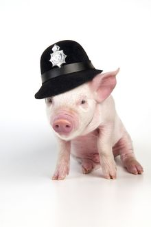 PIG - Piglet sitting wearing a police hat