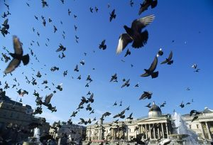 Pigeons - large flock in Trafalgar Square
