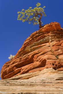 Pine Tree - growing on top of an eroded sandstone formation in the shape of a beehive