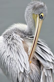 Pink-backed Pelican - preening